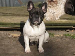 Mutter: Französische Bulldogge
