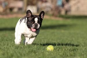 Französische Bulldogge alleine zu Hause lassen