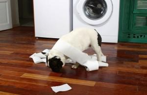 Duschen Französische Bulldogge
