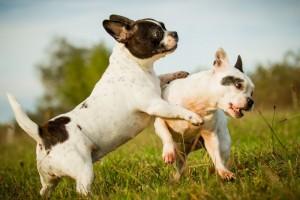 Elterntiere Französische Bulldogge Zucht