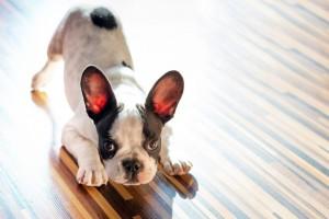 Konsequenz und Ausdauer bei der Erziehung der französischen Bulldogge
