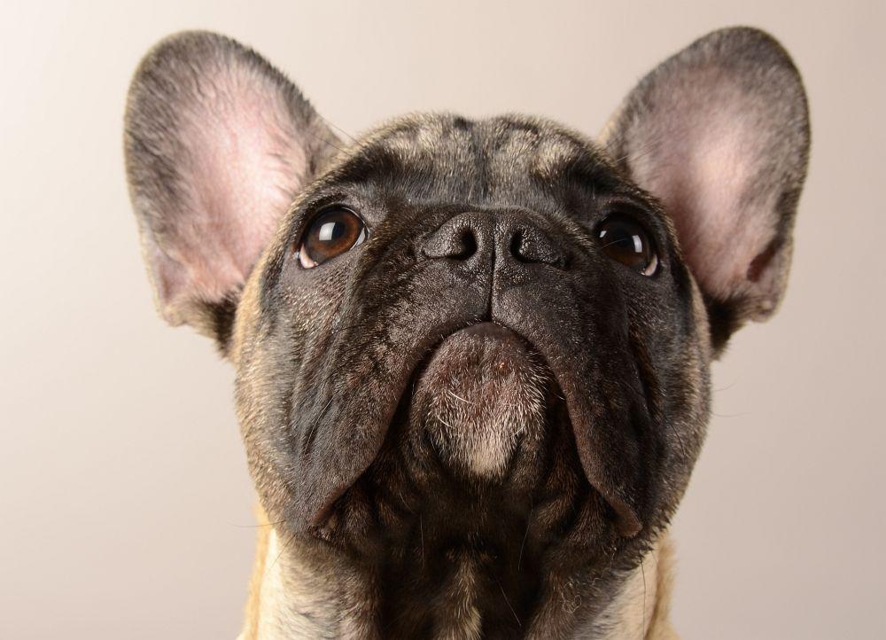 Ernährung Französische Bulldogge