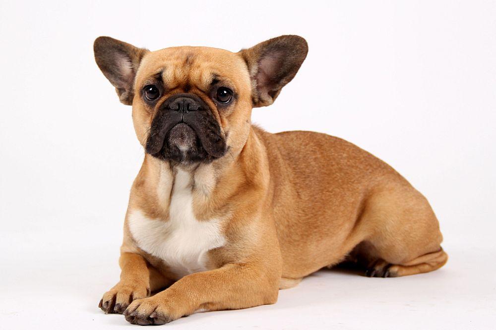 Franzoesische Bulldogge Mops Mix