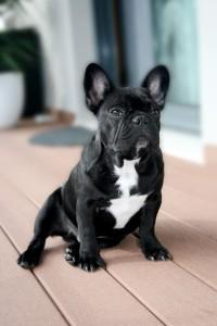Gebühren Französische Bulldogge Tierheim