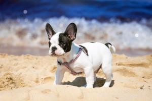 Französische Bulldogge Urlaub