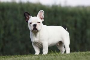Franzoesische Bulldogge in Not