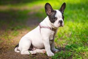 Warum landet der French Bulldog im Tierheim?
