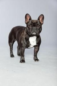 Züchter Französische Bulldogge