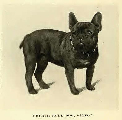 Französische Bulldogge ca. 1890