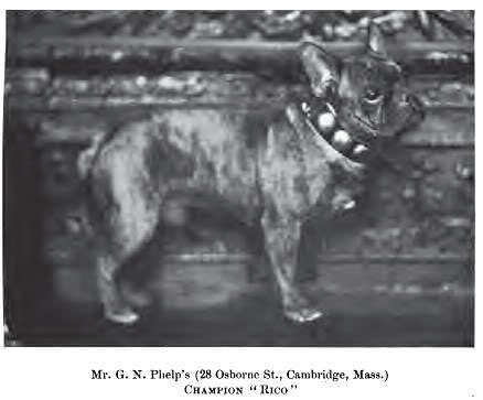 French Bulldog Rico 1901
