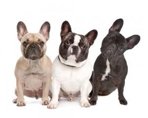 Impfungen French Bulldog