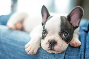 Kaufen French Bulldog Welpen