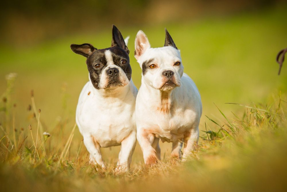Krankheiten French Bulldog