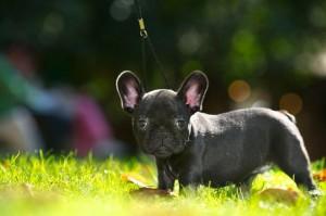 Rassemerkmale Französische Bulldogge