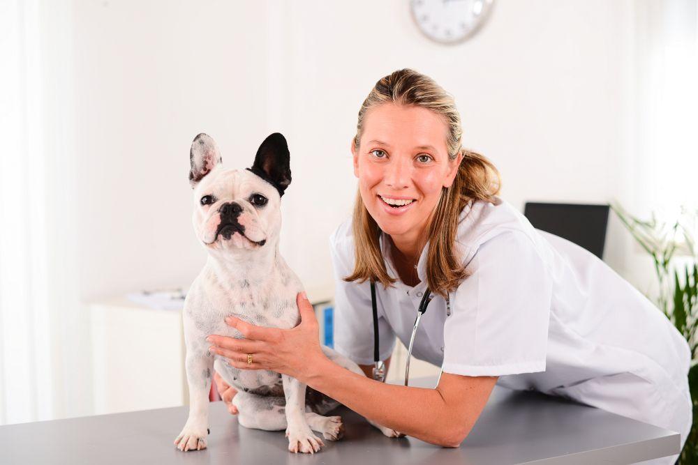 Typische Krankheiten Französische Bulldogge