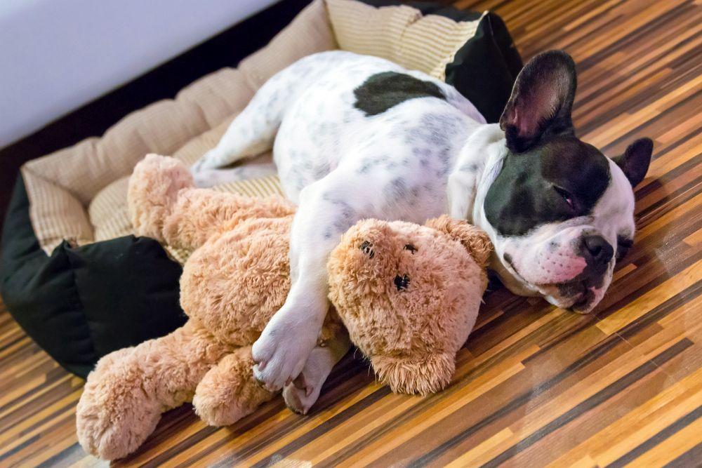 Französische Bulldogge am schlafen