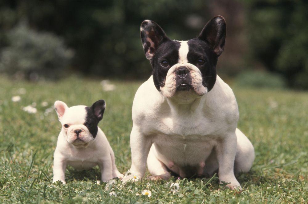 Seriöse Züchter französische Bulldogge