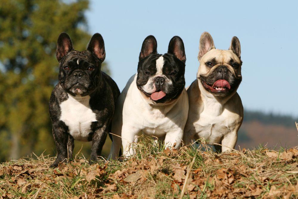 Drei Französische Bulldoggen
