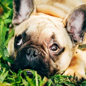 häufige Infektionen bei der Französischen Bulldogge