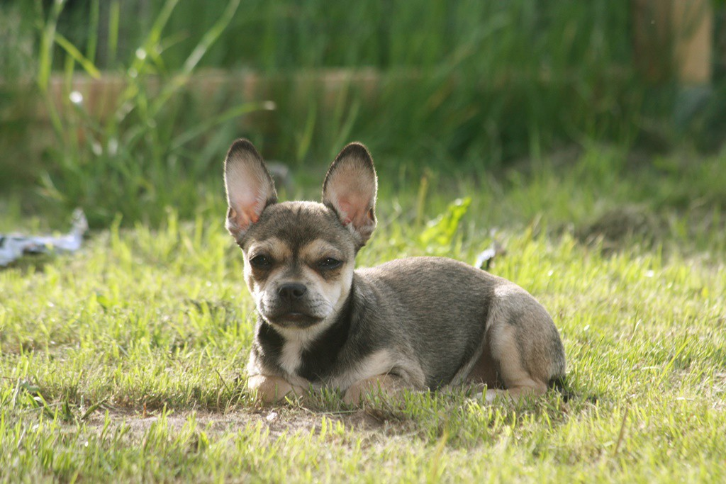 Phoebe: Eine ganz aufgeweckter Französische Bulldogge und Chihuahua Mix. - Mexican French - Fotoquelle: Martina D.