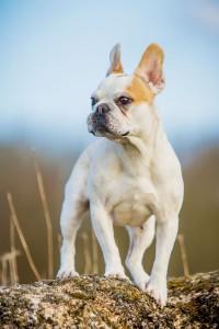 Wesen französische Bulldogge