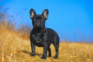 Französische Bulldogge Deckrüden