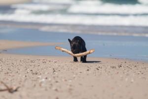 Urlaub Französische Bulldogge