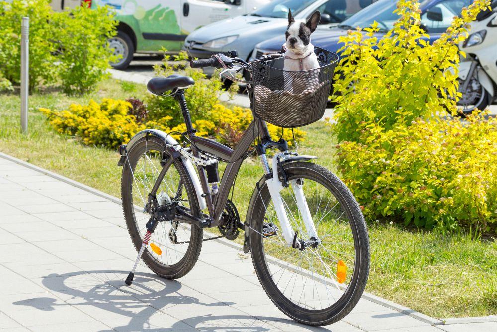 Französische Bulldogge im Hunde Fahrradkorb