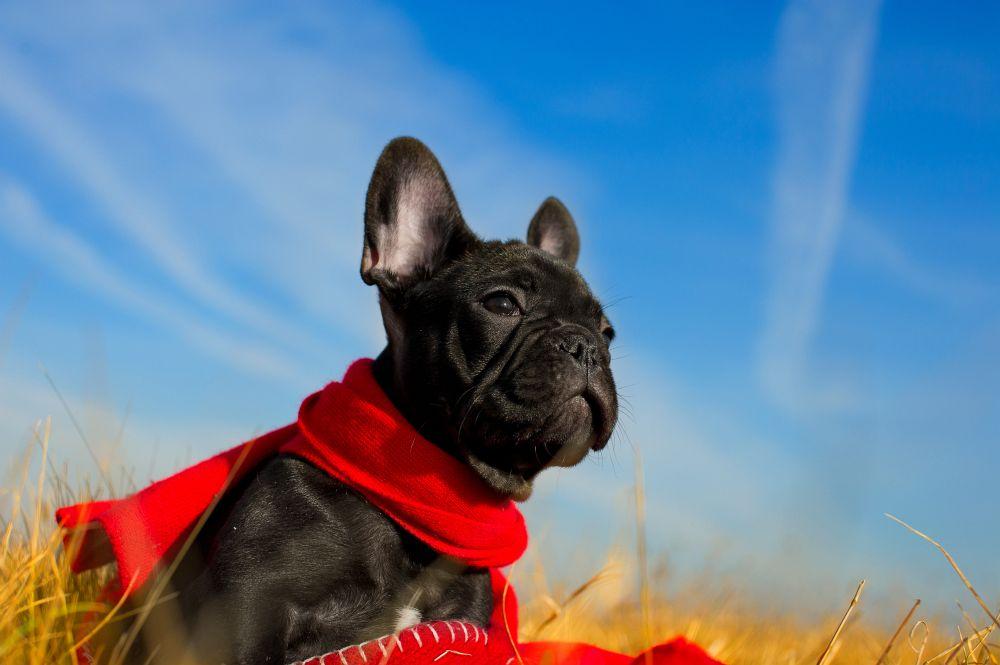 Französische Bulldogge Lebenserwartung