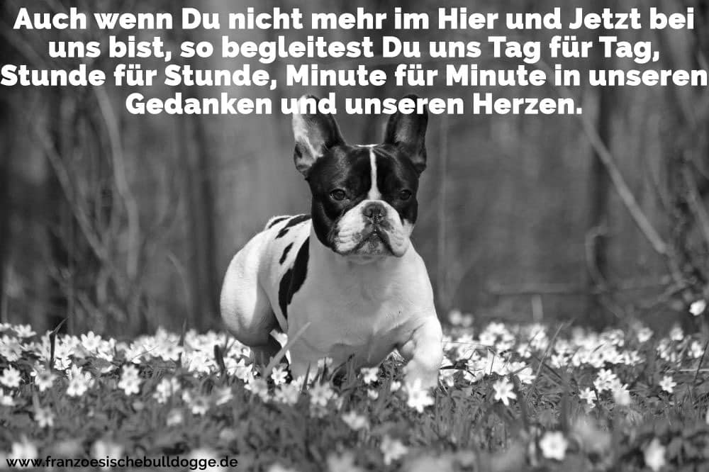 EineFranzösische Bulldoge im Garten