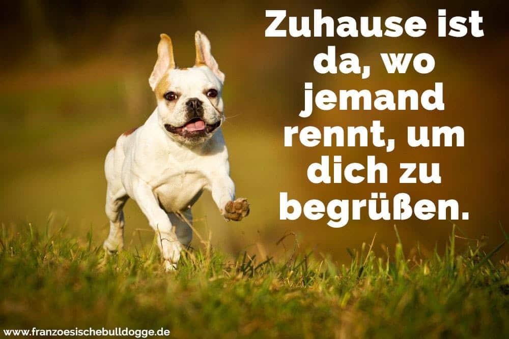 Eine Französische Bulldogge rennt im Gras