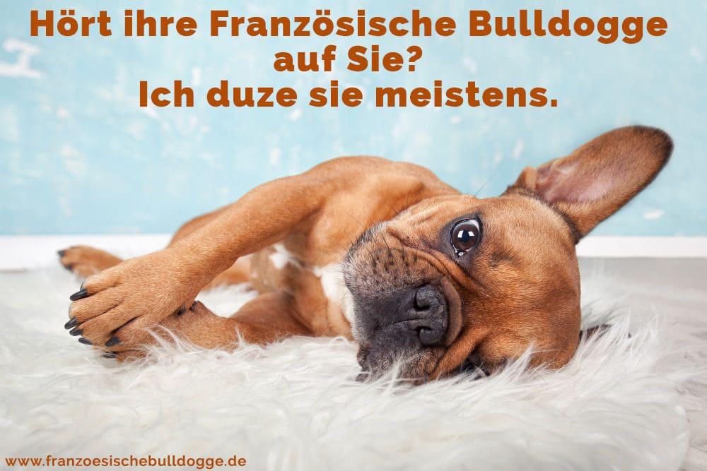 Eine Französische Bulldogge liegt auf dem Boden