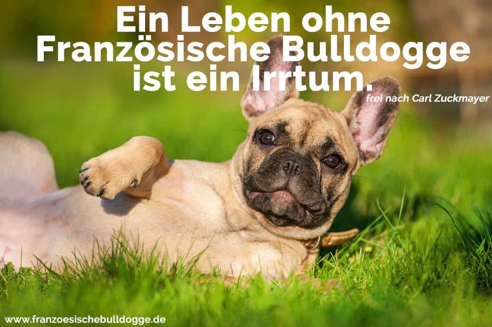 Eine Französische Bulldogge liegt im Gras