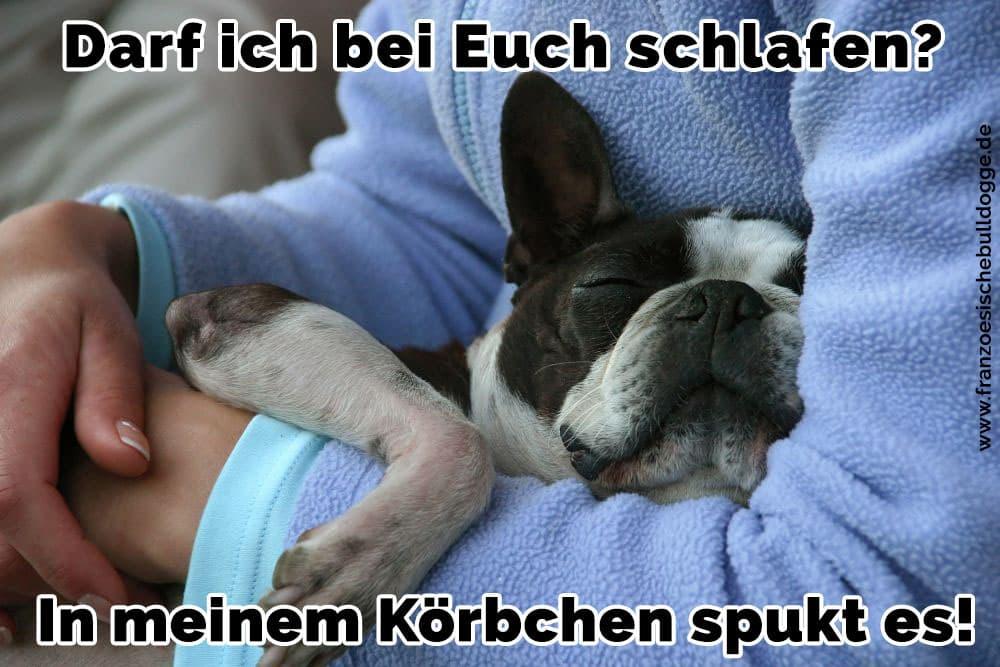 Eine Französisch Bulldogge in den Armen seines Besitzers schlafen