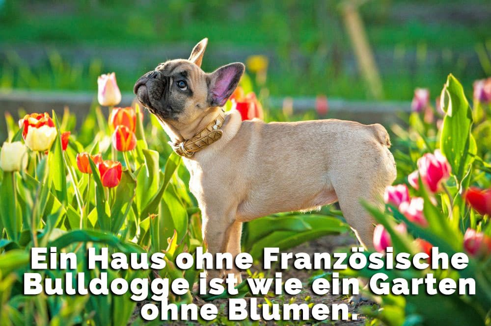 Französische Bulldogge im Garten