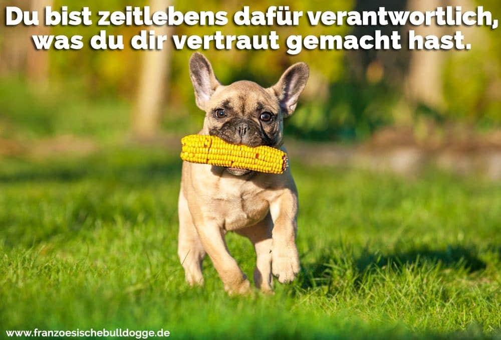 Ein Französisch Bulldogge mit einem Mais in den Mund läuft