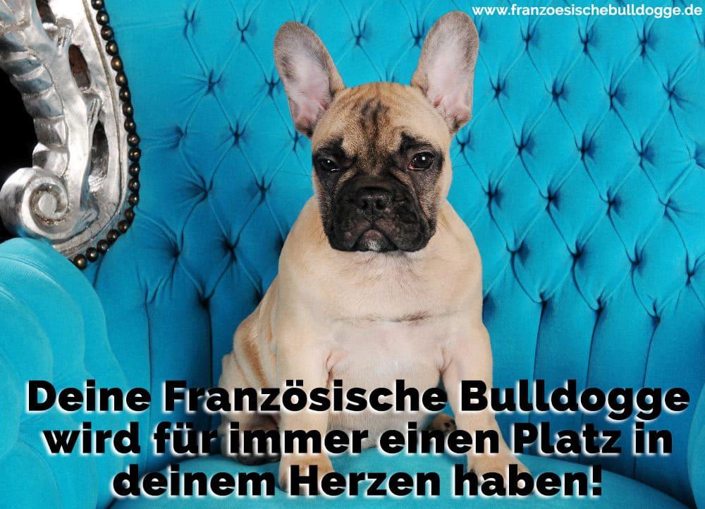 Ein Französisch Bulldog auf dem Sofa