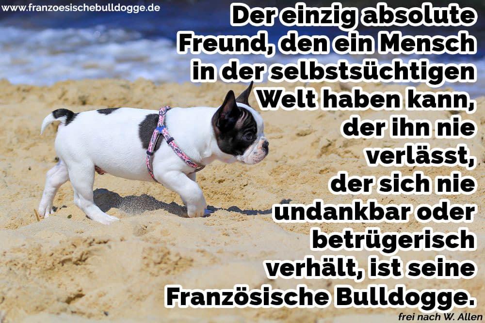Französische Bulldogge am Strand