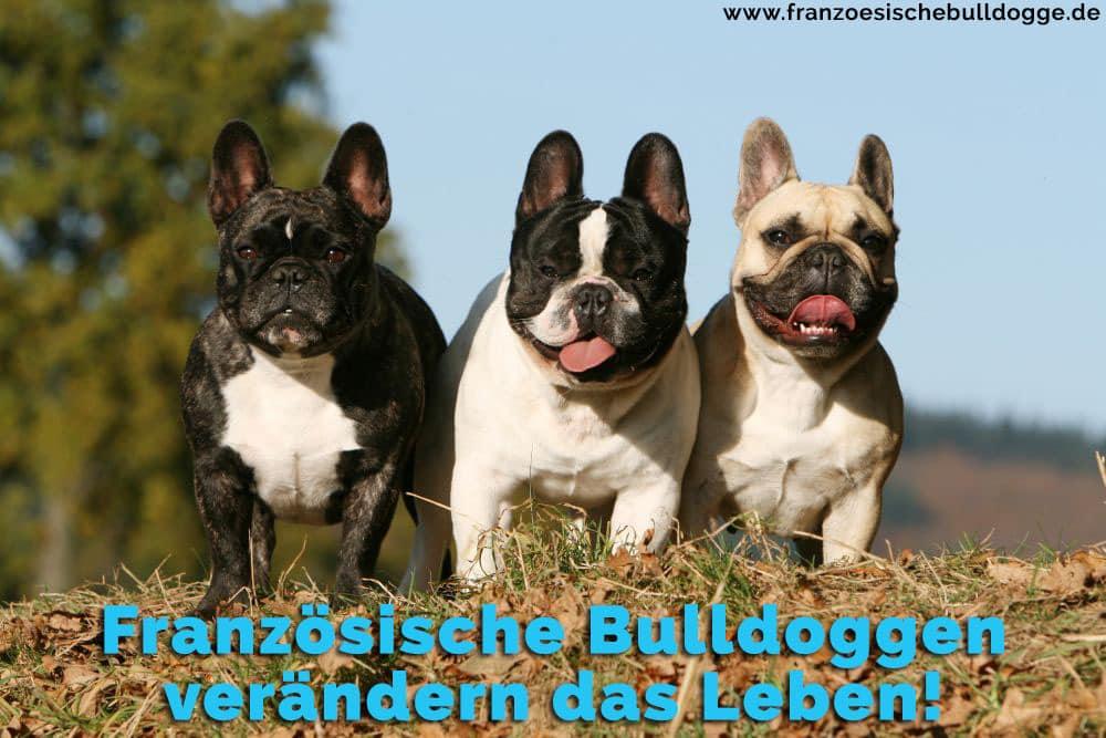 Drei Französische Bulldoggen im Gras