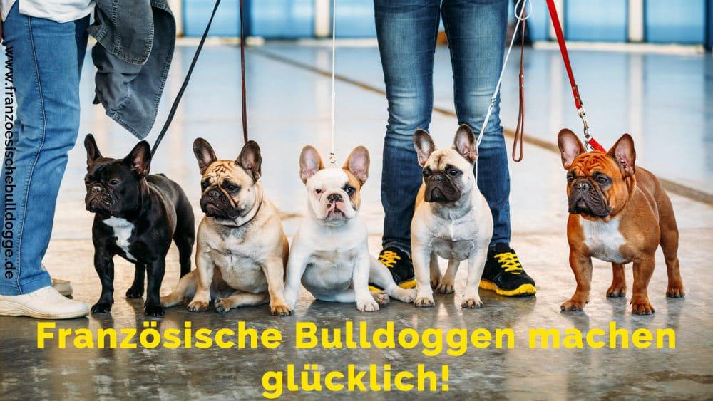 Fünf Französische Bulldoggen zusammem