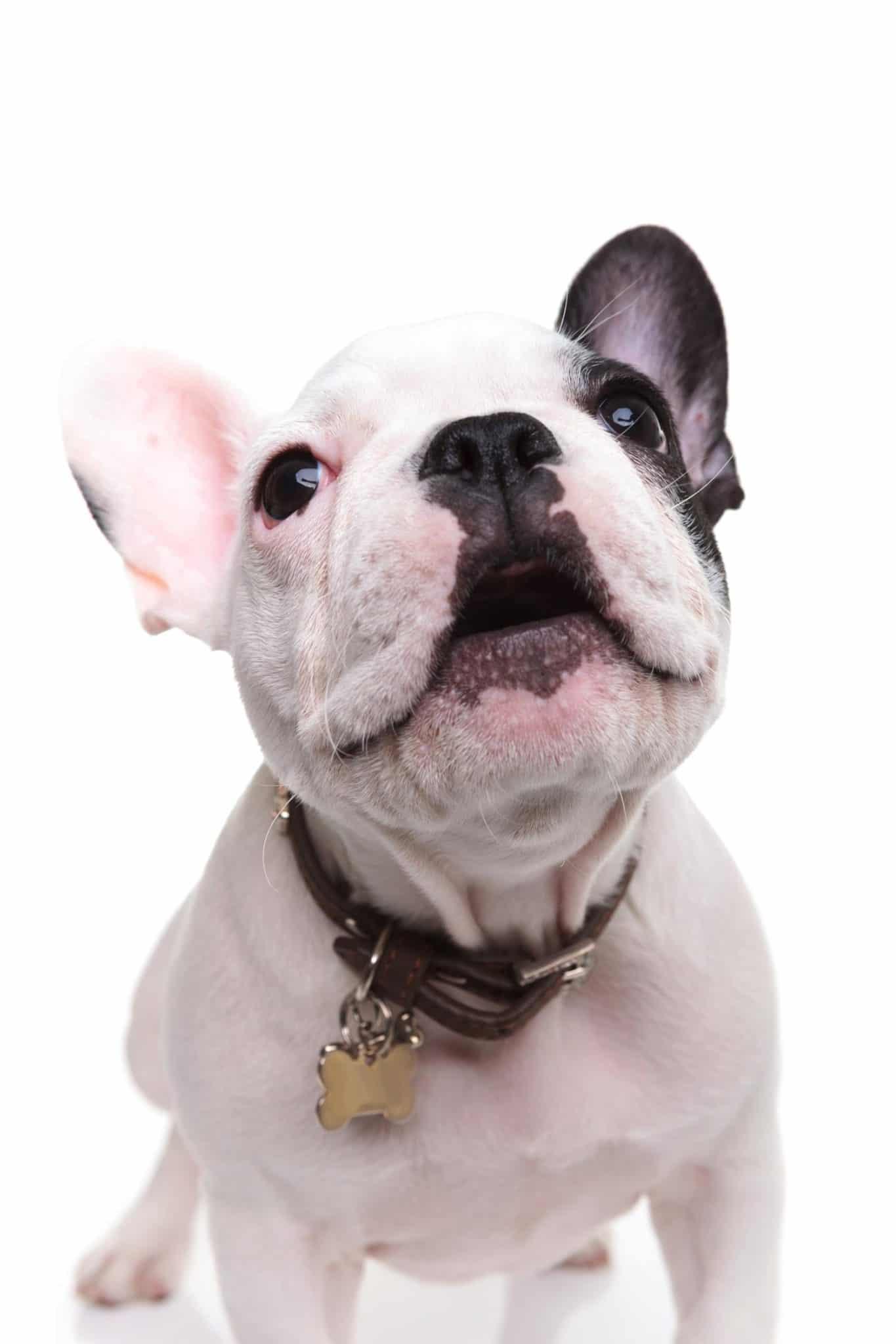 Bellen Französische Bulldoggen viel?
