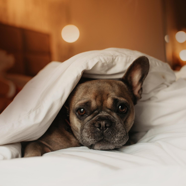 Darf die Französische Bulldogge ins Bett?
