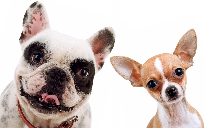 Französische Bulldogge oder Chihuahua kaufen?