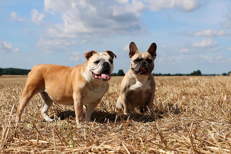 Französische Bulldogge oder Englische Bulldogge kaufen?