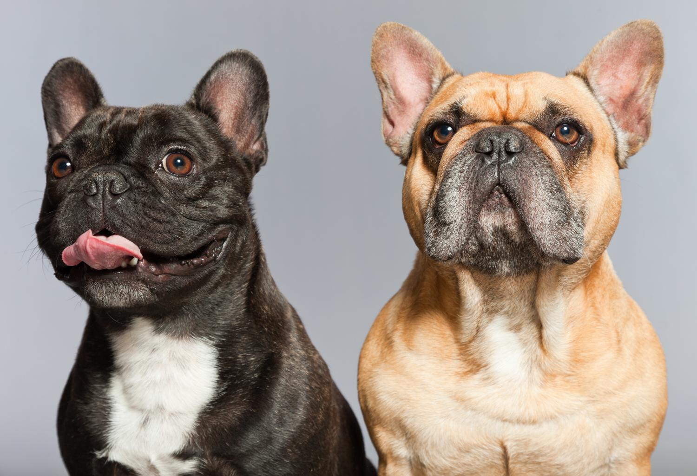 Französische Bulldogge Rüde oder Hündin kaufen?