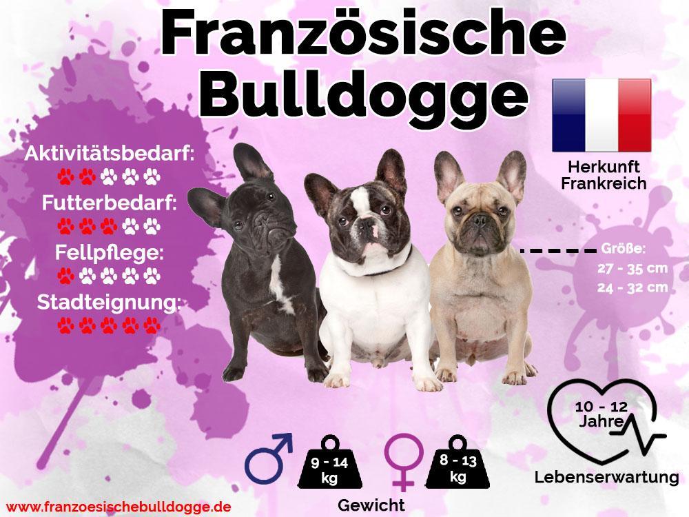Französische Bulldogge Steckbrief