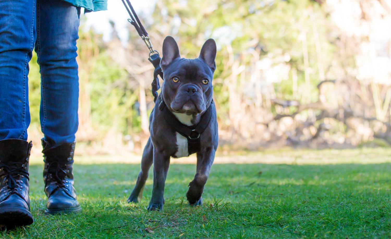 Französische Bulldogge zieht an der Leine - Was tun?