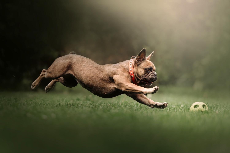 Haben Französische Bulldoggen einen Jagdtrieb?