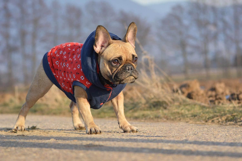 Hat eine Französische Bulldogge Unterwolle?