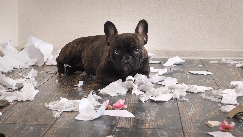 Kann man französische Bulldoggen auch mal allein lassen?